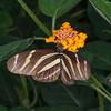 Heliconius charithonia, Zebra Longwing 1917
