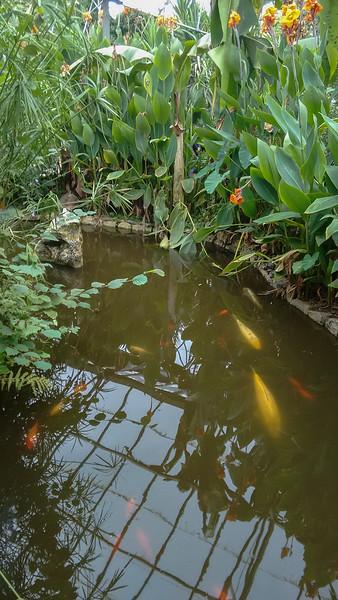 Goldfish, Carassius auratus auratus 663