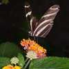 Heliconius charithonia, Zebra Longwing 2029