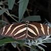 Heliconius charithonia, Zebra Longwing 1830