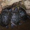 Turtle species noid 1948