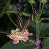 Heliconius charithonia, Zebra Longwing 1982