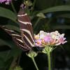 Heliconius charithonia, Zebra Longwing 1936