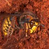Median Wasp hibernating, Dolichovespula media crabro 4876