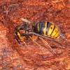 Median Wasp hibernating, Dolichovespula media 4843