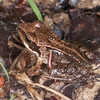 Common Froglet, Rana temporaria 7075
