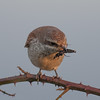 Red-backed shrike, Lanius collurio 4353