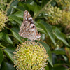 Painted Lady, Vanessa cardui 3211