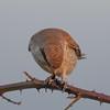 Red-backed shrike, Lanius collurio 4331