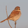 Red-backed shrike, Lanius collurio 4258