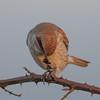 Red-backed shrike, Lanius collurio 4347