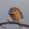 Red-backed shrike, Lanius collurio 4339