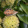 Painted Lady, Vanessa cardui 3214
