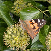 Painted Lady, Vanessa cardui 3210