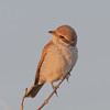 Red-backed shrike, Lanius collurio 4303