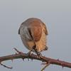 Red-backed shrike, Lanius collurio 4345