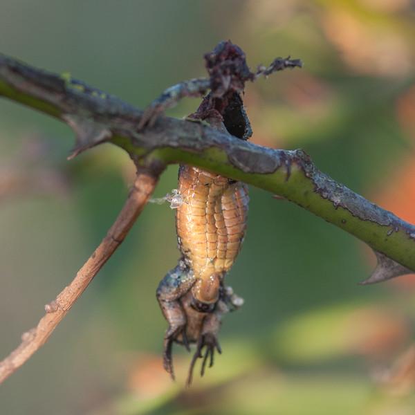 Common Lizard, Zootoca vivipara, hung by Red-backed shrike, Lanius collurio 4144