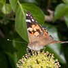 Painted Lady, Vanessa cardui 3217
