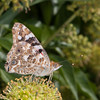 Painted Lady, Vanessa cardui 3212