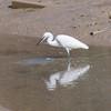 Little Egret, Egretta garzetta 2880