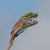 Red-backed Shrike, juvenile, Lanius collurio 2937