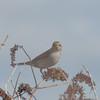 Red-backed Shrike, juvenile, Lanius collurio 2823