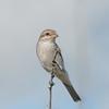 Red-backed Shrike, juvenile, Lanius collurio 3169