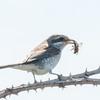 Red-backed Shrike, juvenile, Lanius collurio 3043