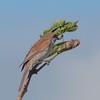 Red-backed Shrike, juvenile, Lanius collurio 2951