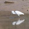 Little Egret, Egretta garzetta 2888