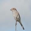 Red-backed Shrike, juvenile, Lanius collurio 3177