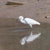 Little Egret, Egretta garzetta 2889