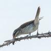 Red-backed Shrike, juvenile, Lanius collurio 3032