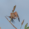 Red-backed Shrike, juvenile, Lanius collurio 2936