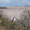 Red-backed Shrike, juvenile, Lanius collurio 3024