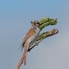 Red-backed Shrike, juvenile, Lanius collurio 2946