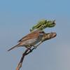 Red-backed Shrike, juvenile, Lanius collurio 2957