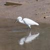 Little Egret, Egretta garzetta 2890