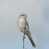 Red-backed Shrike, juvenile, Lanius collurio 3173