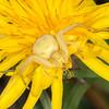 Crab Spider, Misumena vatia 8125
