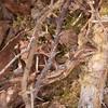 Common Lizard, Zootoca vivipara 8238