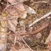 Common Lizard, Zootoca vivipara 8240