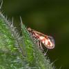 Red-barred Gold, Micropterix tunbergella 8262