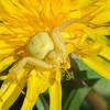 Crab Spider, Misumena vatia 8126