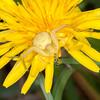 Crab Spider, Misumena vatia 8124