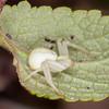 Crab Spider, Misumena vatia 8230