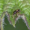 Common Flower Bug, Anthocoris nemorum 8331