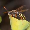Gooden's Nomad Bee, Nomada goodeniana 8289