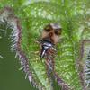 Common Flower Bug, Anthocoris nemorum 8329