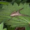 Nursery Web Spider, Pisaura mirabilis 8274